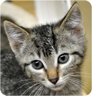 Domestic Shorthair Kitten for adoption in Atlanta, Georgia - Erik