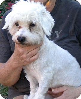 Bichon Frise Dog for adoption in Fort Lauderdale, Florida - Stevie