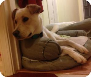 Labrador Retriever Mix Dog for adoption in Alpharetta, Georgia - Simon