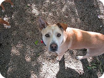 Labrador Retriever/American Pit Bull Terrier Mix Dog for adoption in Providence, Rhode Island - Scooter