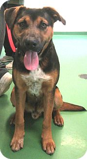 Rottweiler/Shepherd (Unknown Type) Mix Dog for adoption in South Haven, Michigan - Teddy