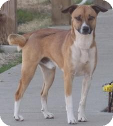 Basenji/Jack Russell Terrier Mix Dog for adoption in Proctorville, Ohio, Ohio - Marvin