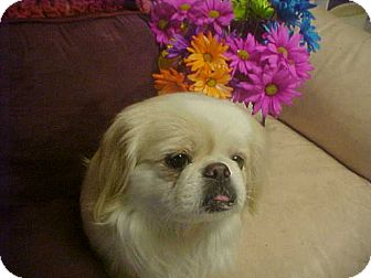 Pekingese Dog for adoption in Cathedral City, California - MAGGIE