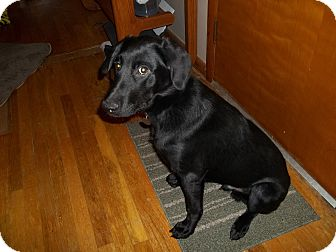 Labrador Retriever/German Shepherd Dog Mix Puppy for adoption in Prole, Iowa - Major