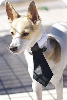 Rat Terrier Mix Dog for adoption in Corpus Christi, Texas - Bruce
