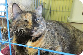 Domestic Shorthair Cat for adoption in Acme, Pennsylvania - Snickers