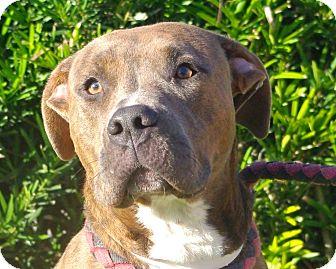 Pit Bull Terrier Mix Dog for adoption in Daytona Beach, Florida - Jetta
