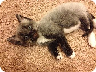 Domestic Shorthair Kitten for adoption in Gainesville, Florida - Worthington