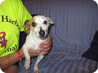 Jack Russell Terrier Mix Dog for adoption in Port Clinton, Ohio - Findley
