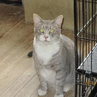 Domestic Shorthair Cat for adoption in Monroe, Connecticut - Osen