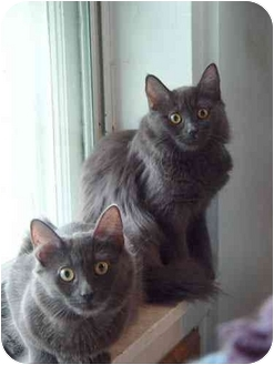 Domestic Shorthair Kitten for adoption in New York, New York - Zane & Zoe