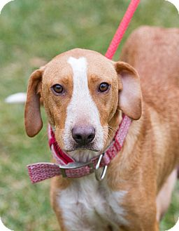 Hound (Unknown Type)/Labrador Retriever Mix Dog for adoption in Newtown, Connecticut - Bailey