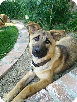 German Shepherd Dog Mix Dog for adoption in Los Angeles, California - DOOLI