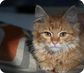 Domestic Mediumhair Kitten for adoption in Studio City, California - McGregor