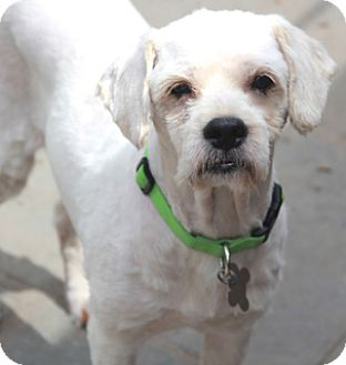 Lhasa Apso/Poodle (Miniature) Mix Dog for adoption in Woonsocket, Rhode Island - Ajax