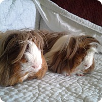 Adopt A Pet :: Dutch - San Antonio, TX