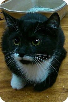 Domestic Mediumhair Kitten for adoption in Hamilton, Ontario - Canela