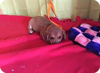 Pointer/Shepherd (Unknown Type) Mix Puppy for adoption in Smithtown, New York - Ariel
