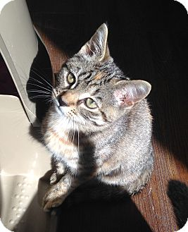 Domestic Shorthair Kitten for adoption in Greensburg, Pennsylvania - Paisley