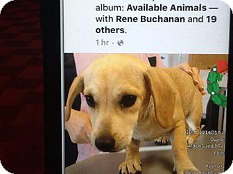 Dachshund/Cairn Terrier Mix Puppy for adoption in springtown, Texas - Sugar bear