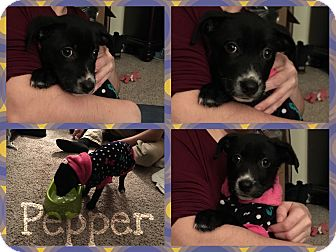 Border Collie Mix Puppy for adoption in Lima, Pennsylvania - Pepper