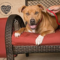 American Pit Bull Terrier/Hound (Unknown Type) Mix Dog for adoption in Inglewood, California - Clyde