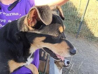 Miniature Pinscher/Rat Terrier Mix Dog for adoption in Alvarado, Texas - Buddy