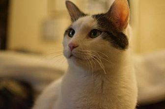 Domestic Shorthair Cat for adoption in Mission Viejo, California - Ninja 2