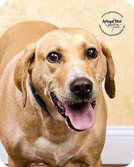 Labrador Retriever/Boxer Mix Dog for adoption in Cincinnati, Ohio - Rocky- WAIVED FEE