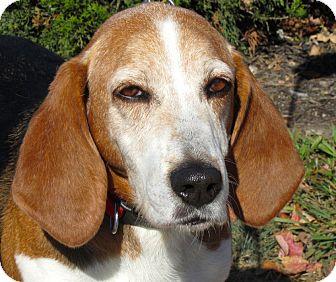 Basset Hound/Beagle Mix Dog for adoption in Overland Park, Kansas - A047383 Wilson