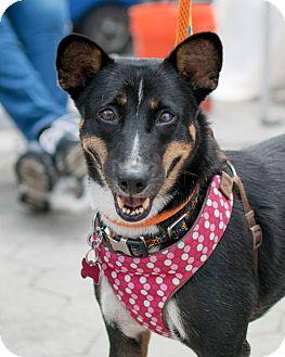 Shiba Inu Mix Dog for adoption in Long Beach, New York - Cleo
