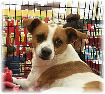Terrier (Unknown Type, Small) Mix Dog for adoption in Las Vegas, Nevada - Peanut aka Cupid