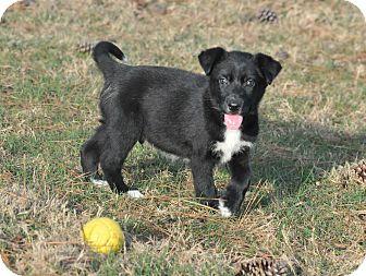 Labrador Retriever/Border Collie Mix Puppy for adoption in Tomball, Texas - Henderson