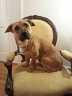 Basset Hound/Boxer Mix Dog for adoption in Gaithersburg, Maryland - Sheba