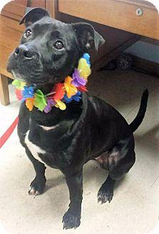 Pit Bull Terrier/Labrador Retriever Mix Dog for adoption in Van Wert, Ohio - Nadia