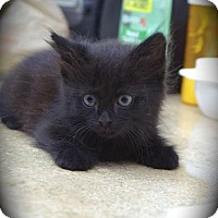 Adopt A Pet :: Sooty - Englewood, FL