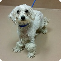 Adopt A Pet :: ALANNIS - Reno, NV