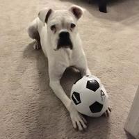 Adopt A Pet :: Henry - Tulsa, OK
