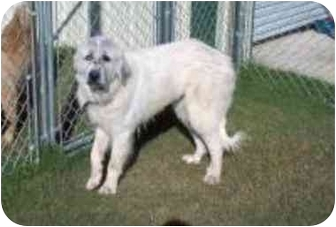 Great Pyrenees Dog for adoption in Kyle, Texas - Roxie