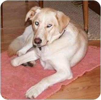 Golden Retriever/Husky Mix Dog for adoption in Northville, Michigan - Sophie - Sweet