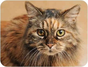 Domestic Longhair Cat for adoption in Chicago, Illinois - Celeste