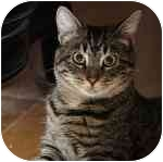 Domestic Shorthair Cat for adoption in Long Beach, New York - Stripe