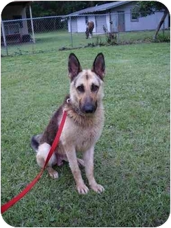 German Shepherd Dog Dog for adoption in Green Cove Springs, Florida - Toby