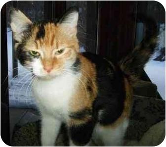 Calico Kitten for adoption in Byron Center, Michigan - Bridget