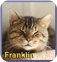 Domestic Shorthair Cat for adoption in Aldie, Virginia - Franklin