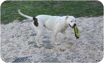 American Bulldog Dog for adoption in Earleville, Maryland - Angel
