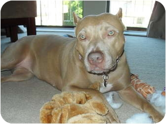 American Pit Bull Terrier/Terrier (Unknown Type, Medium) Mix Dog for adoption in Raritan, New Jersey - Luna PENDING