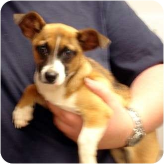 Corgi/Chihuahua Mix Puppy for adoption in Manassas, Virginia - Rebecca
