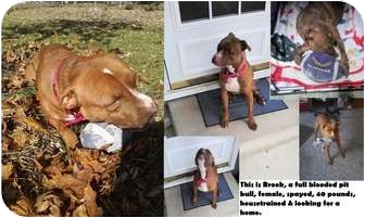 American Pit Bull Terrier Mix Dog for adoption in Bay City, Michigan - Brook~~adopted 11/2011~~