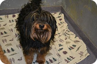 Poodle (Miniature)/Tibetan Terrier Mix Dog for adoption in Edwardsville, Illinois - Daisy